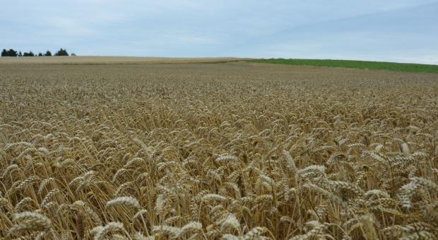 Będzie dużo pszenicy we Francji