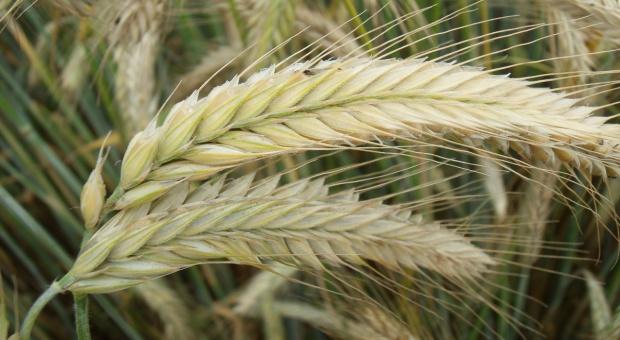 Warto obalać mity o stosowaniu żyta w żywieniu zwierząt