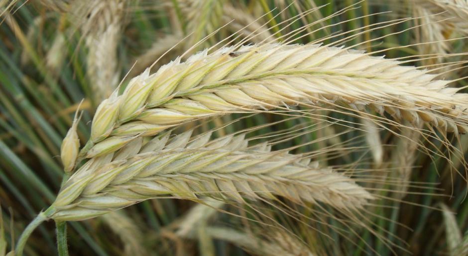 Nowe odmiany ozimego jęczmienia, pszenżyta i żyta w KR