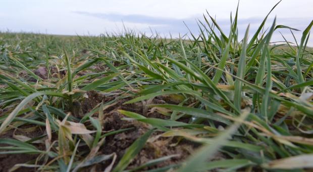 SG: Kondycja zbóż w Unii