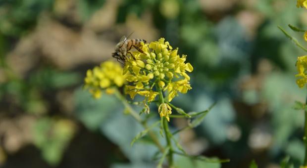 Mieszanki nasion dla owadów zapylających