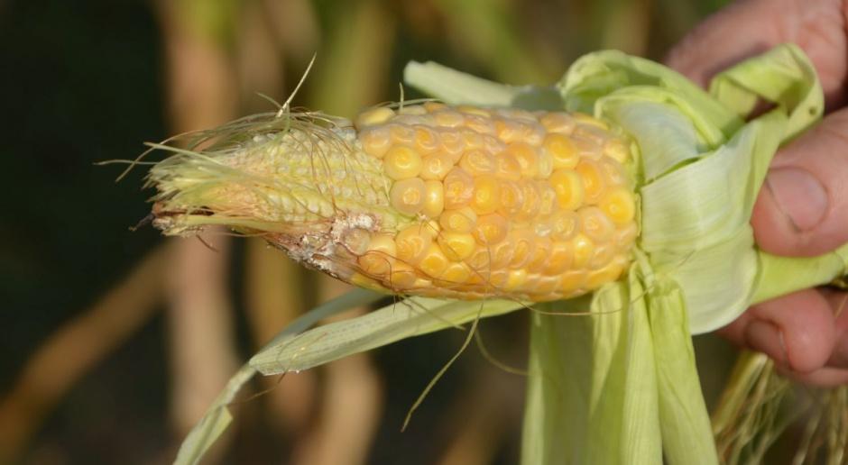 Trudny do oszacowania areał uprawy kukurydzy