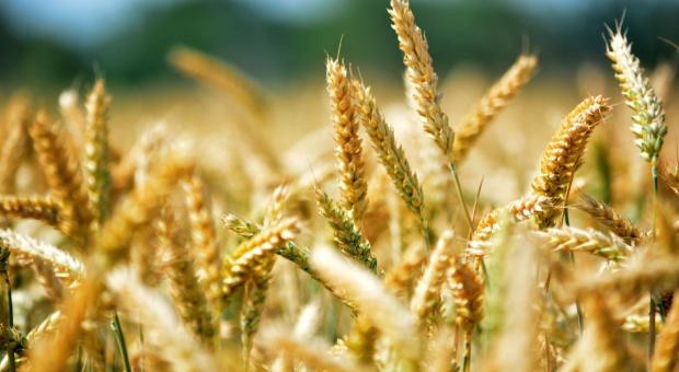 Kolejne spadki cen surowców rolnych