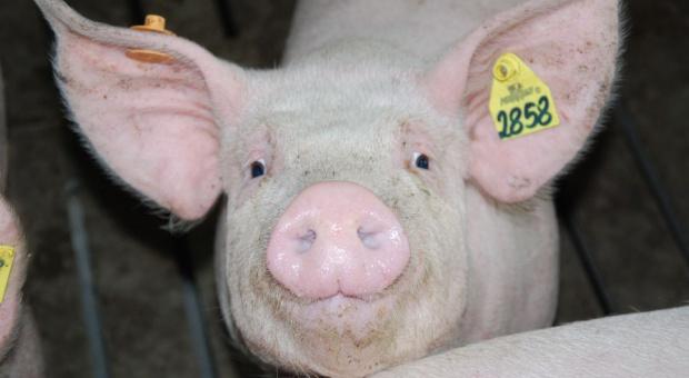 MRiRW wyjaśnia obowiązek rejestracji nawet jednej świni w gospodarstwie