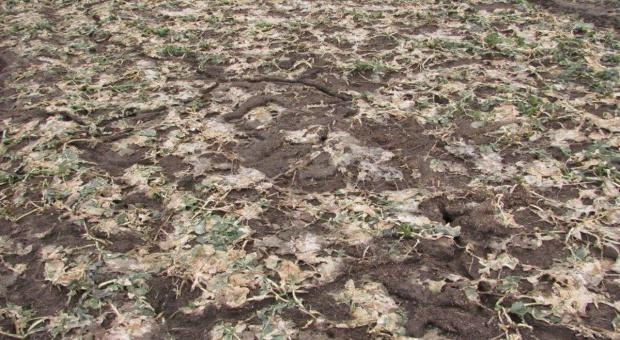 Rokujące plantacje ozimin – czyli jakie?
