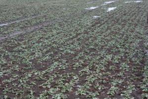 Plantacja rzepaku w bardzo dobrym stanie fitosanitarnym, fot. Procam