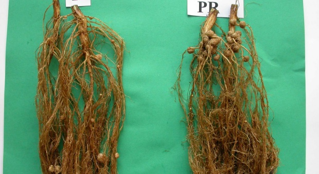 Inokulanty w uprawie soi