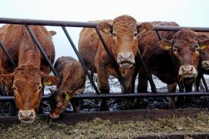 Wołowina w UE drożeje, na świecie tanieje