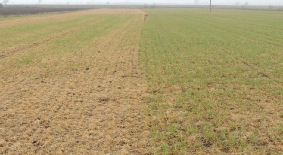 Rolnicy szacują straty w obsadzie ozimin na poziomie 20-30 proc.