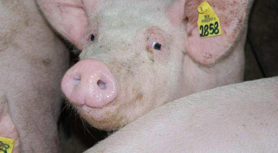MRiRW: Polska powinna być samowystarczalna w produkcji wieprzowiny