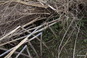 Fot: Objawy suchej zgnilizny kapustnych na rzepaku (w tym porażenia przez L. biglobosa na łodygach): wyleganie łanu, przedwczesne osypywanie się