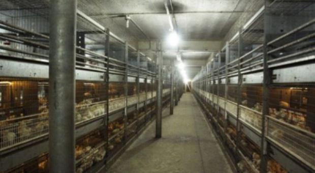KRD popiera poprawę standardów w utrzymaniu kur
