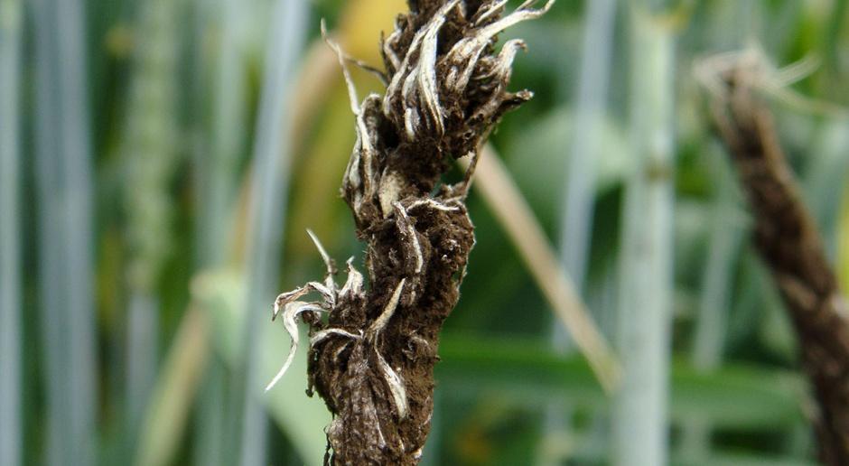 Zaprawianie ziarna zbóż jarych