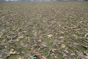 Rzepak: Zostawić czy zaorać - dylemat rolników z Kujaw