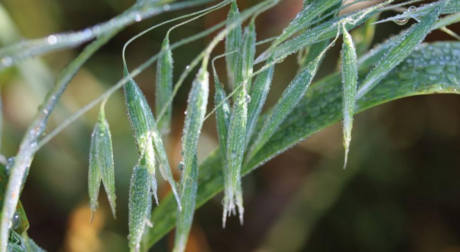 Wzrostowy tydzień na giełdach zbóż