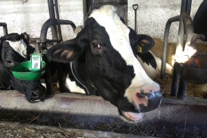 USA: rośnie produkcja mleka