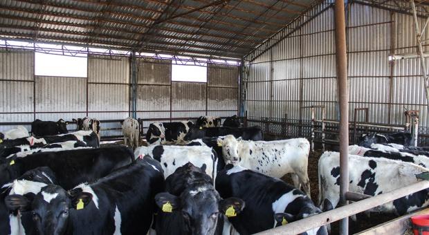 Remont stada - wykorzystaj potencjał własnych krów