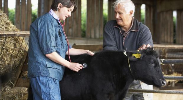 Wielka Brytania: Gruźlica bydła coraz większym problemem