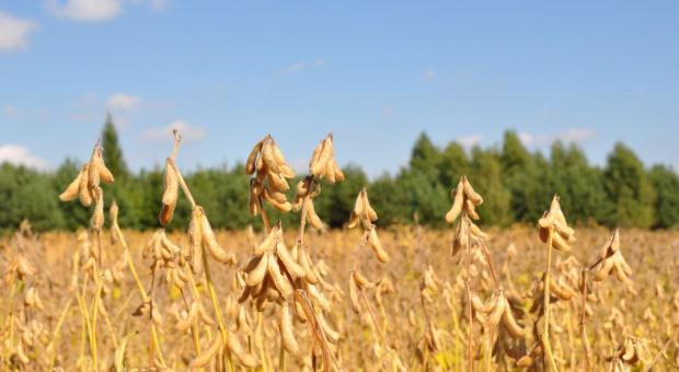 IGC: Prognoza większej światowej produkcji soi w sezonie 2020/2021