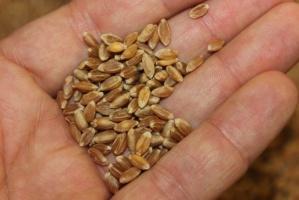 Ceny w skupach zbóż przed świętami bez zmian