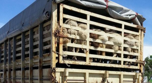 Francuscy rolnicy niszczą transporty zagranicznego mięsa (video)