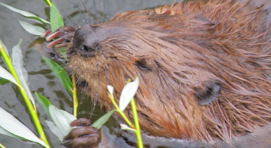 Zwierzęta chronione wyrządziły w ub. r. szkody na 9,5 mln zł na Warmii i Mazurach