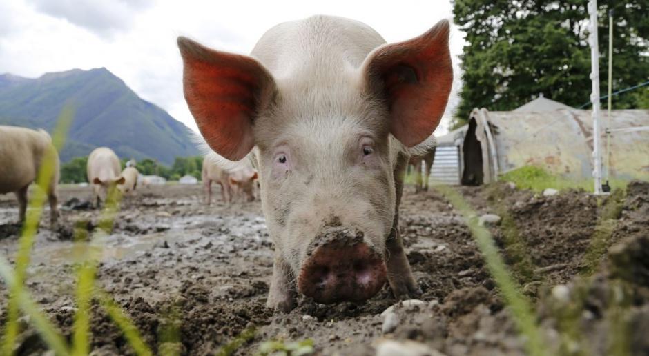 Nie widać końca obniżek cen świń