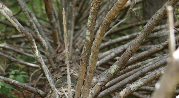 Szyszko: Będziemy usuwać martwe drzewa z Białowieży