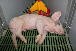 Streptokokoza świń - niebezpieczna dla całego stada