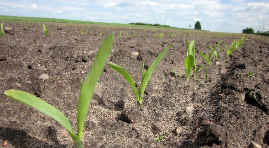 Siew kukurydzy po zlikwidowanych oziminach