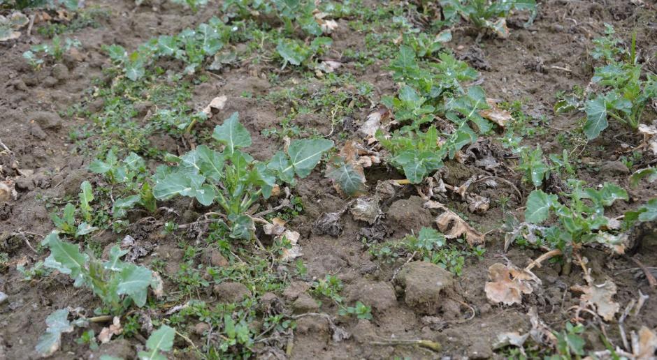 Lepiej nie zwlekać z opryskiem herbicydem