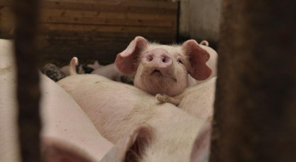 Grupa PKM DUDA rezygnuje z wołowiny na rzecz wieprzowiny