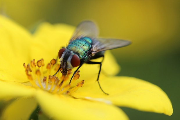 Zwalczaj muchy w zgodzie z naturą
