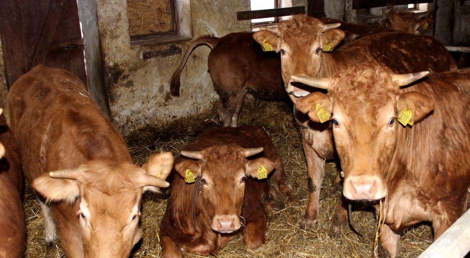 Produkcję bydła mięsnego dopasuj do warunków