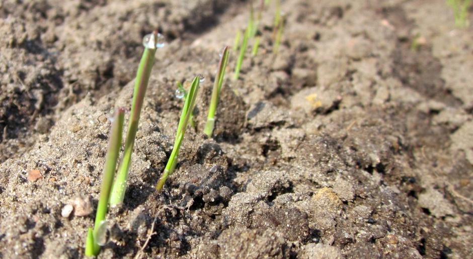 Wschodzą zboża jare siane na początku marca, przewódki siane w lutym są w fazie 1 liścia