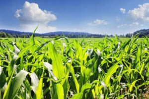 USA:  W 2016 r. mniejsze zasiewy pszenicy, większe kukurydzy