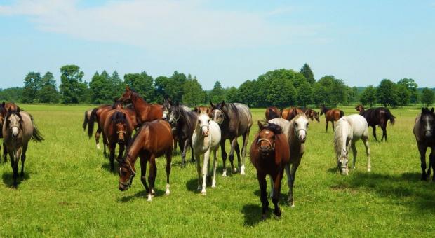 Resort rolnictwa: Zarząd stadniny w Janowie Podlaskim powinien zostać zmieniony