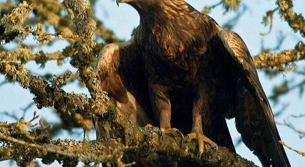 Ornitolodzy i leśnicy pomagają orłom