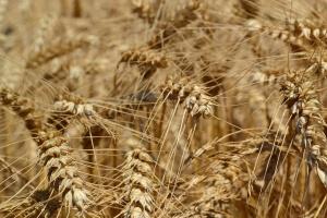 Prognoza światowych zbiorów zbóż w sezonie 2016/2017