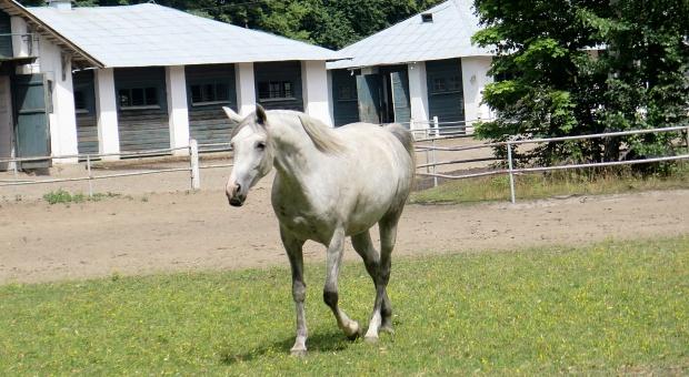 Będzie rozpisany konkurs na prezesa stadniny koni arabskich w Janowie Podlaskim