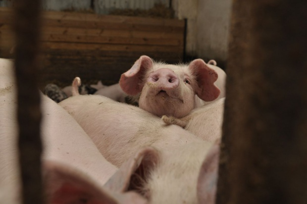 Zastosowanie śruty rzepakowej w tuczu świń wciąż opłacalne