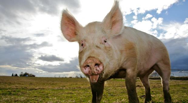 Ukraina: Prognozy nieco większej produkcji zwierzęcej