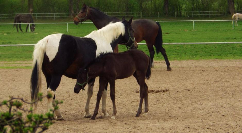 PZHKA: Zmiany w stadninach godzą w podstawy hodowli koni arabskich