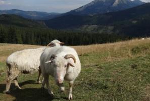 Owce chronią ekosystemy, ale baców coraz mniej. Samorządy muszą dopłacać