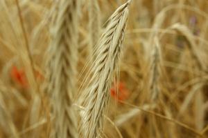 Ceny zbóż nieznacznie w górę