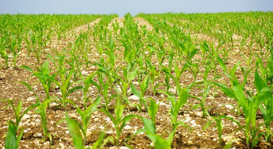 Niemcy: Łączna powierzchnia uprawy kukurydzy podobna jak w 2015 r.