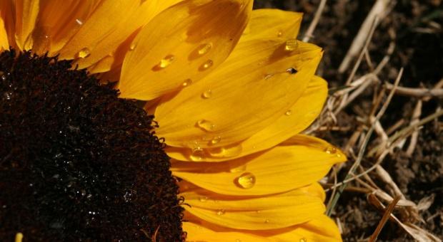 Śruta słonecznikowa – źródło białka i włókna dla loch