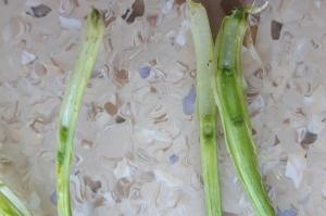 Pierwsze kolanko w pszenicy