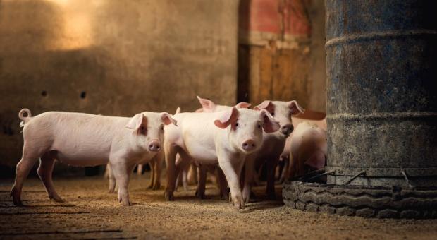Spadnie produkcja wieprzowiny