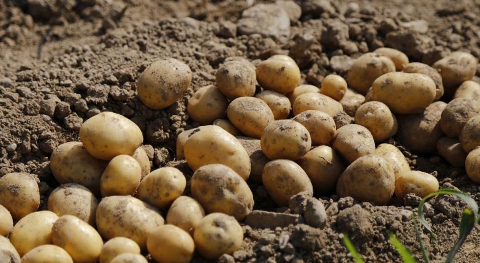 Ziemniaki w Polsce drogie